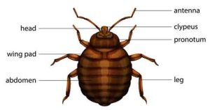 Picture of Bed Bugs, Anatomy and Diagram