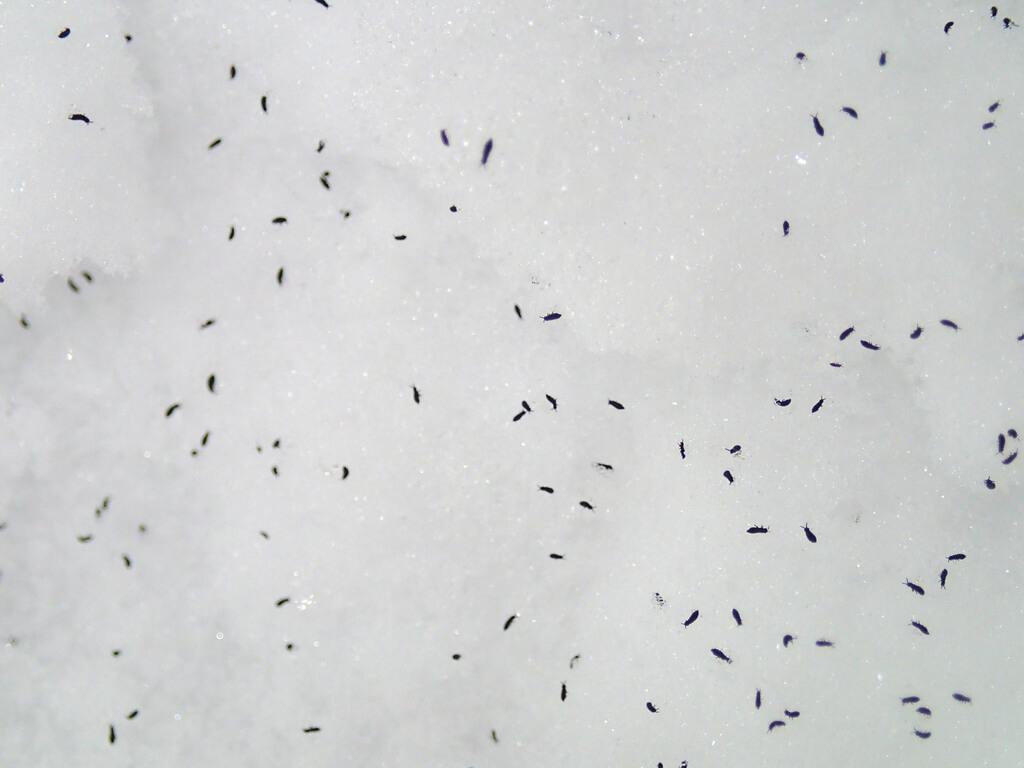 Collemboles des neiges