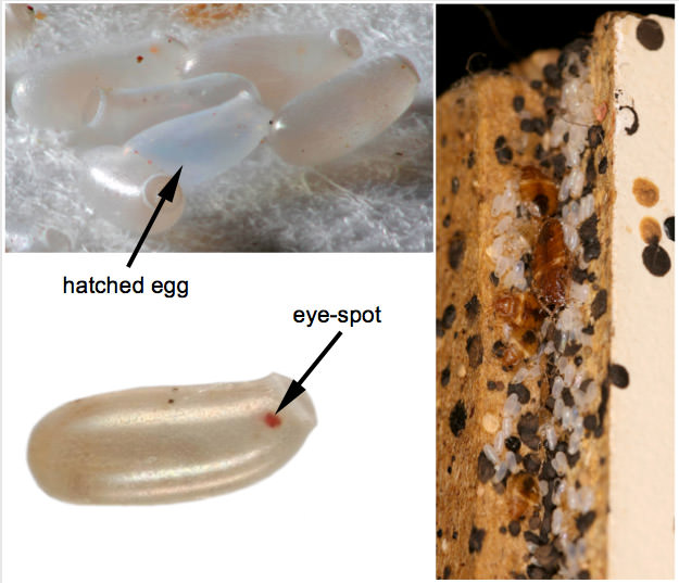 Elegant What Do Bed Bug Eggs Look Like?