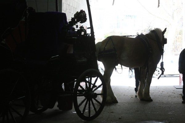 The Carriage Horses Secret Plan: A Christmas Story ...