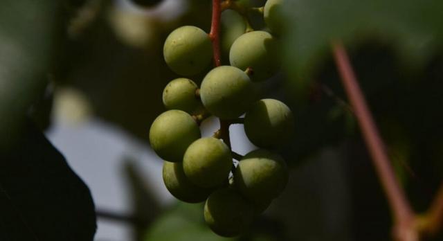 olives-branch