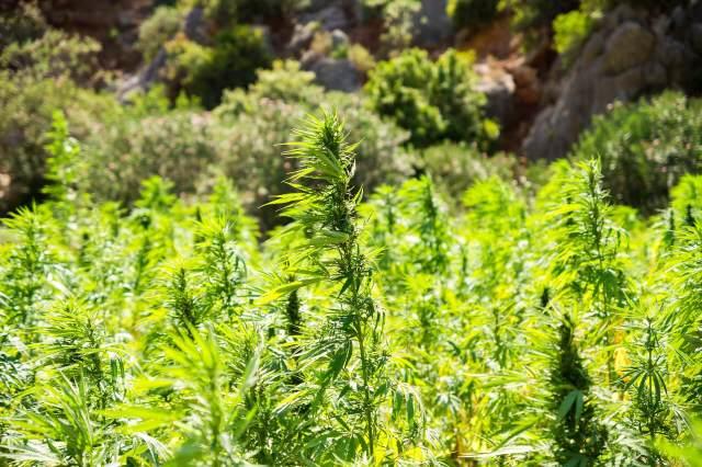 hemp-plantation