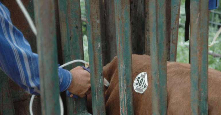 Giving Cattle Injections Do It Right Beef Magazine
