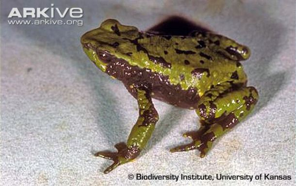 Huila stubfoot toad