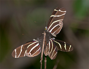 Image of Zebra Longwing butterflies