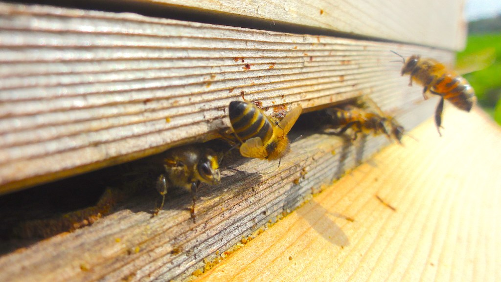 Honeybees flying at the entrance of their hive. #BeehiveYourself, #WantageHoney, beehiveyourself.co.uk