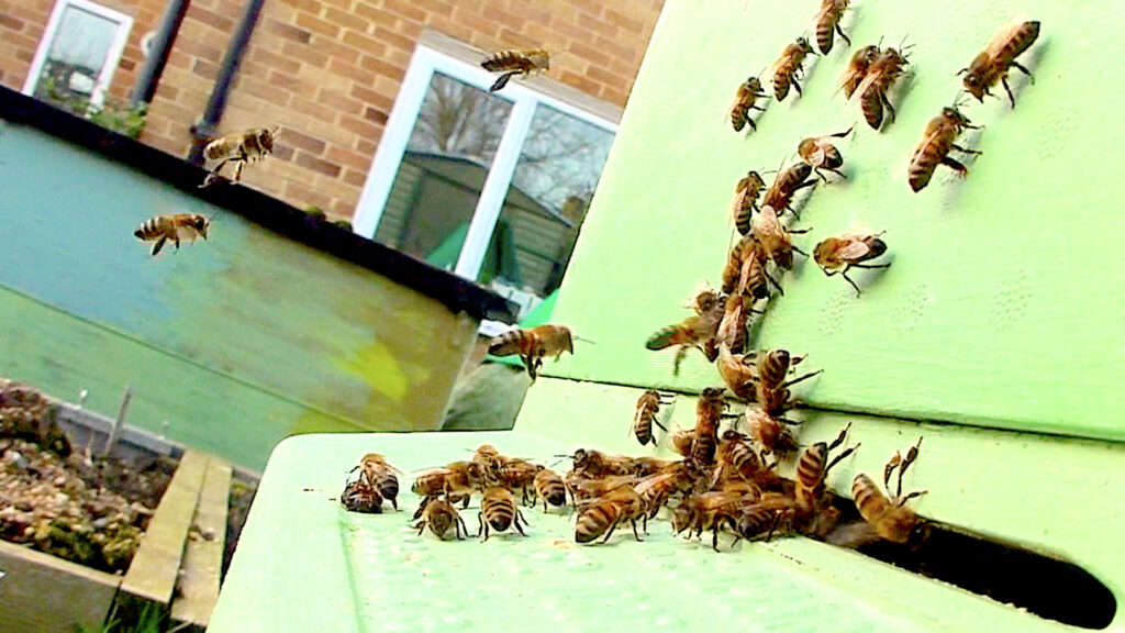 Honeybees flying at entrance of the PolyHive during December 2018 #BeehiveYourself, #WantageHoney, beehive yourself.co.uk