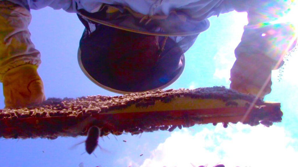 Lifting a frame of comb covered in honeybees, from a hive. #BeehiveYourself, #WantageHoney, beehiveyourself.co.uk