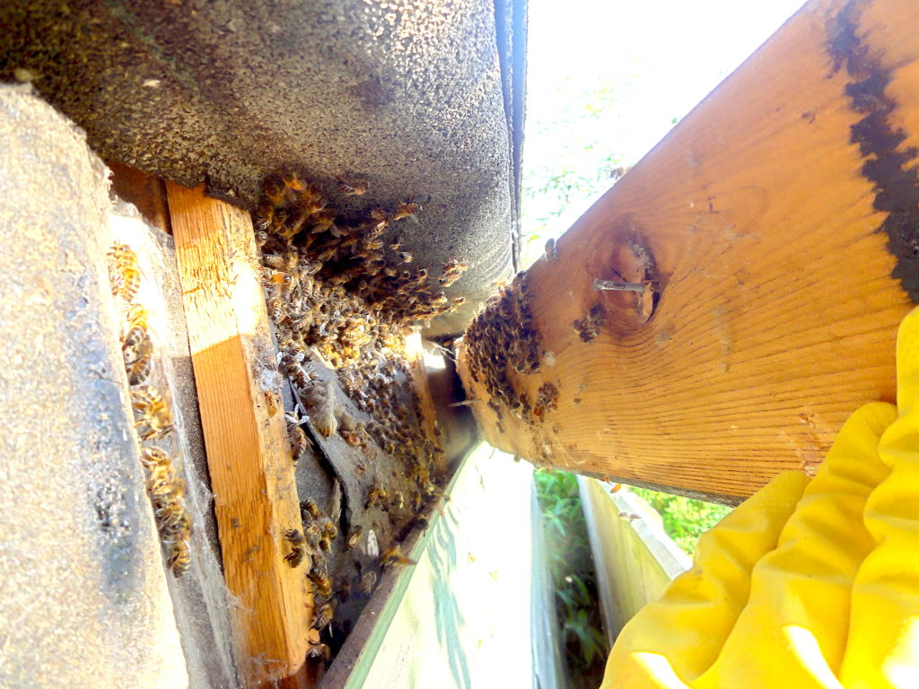 Honeybees found in lapboard shed. In fact, the building was formerly a sauna. Behind the lapboard was a cavity which was 30cm deep and filled with insulation. Virtually impossible to get the bees out. #BeehiveYourself, #WantageHoney, #BeesInShed