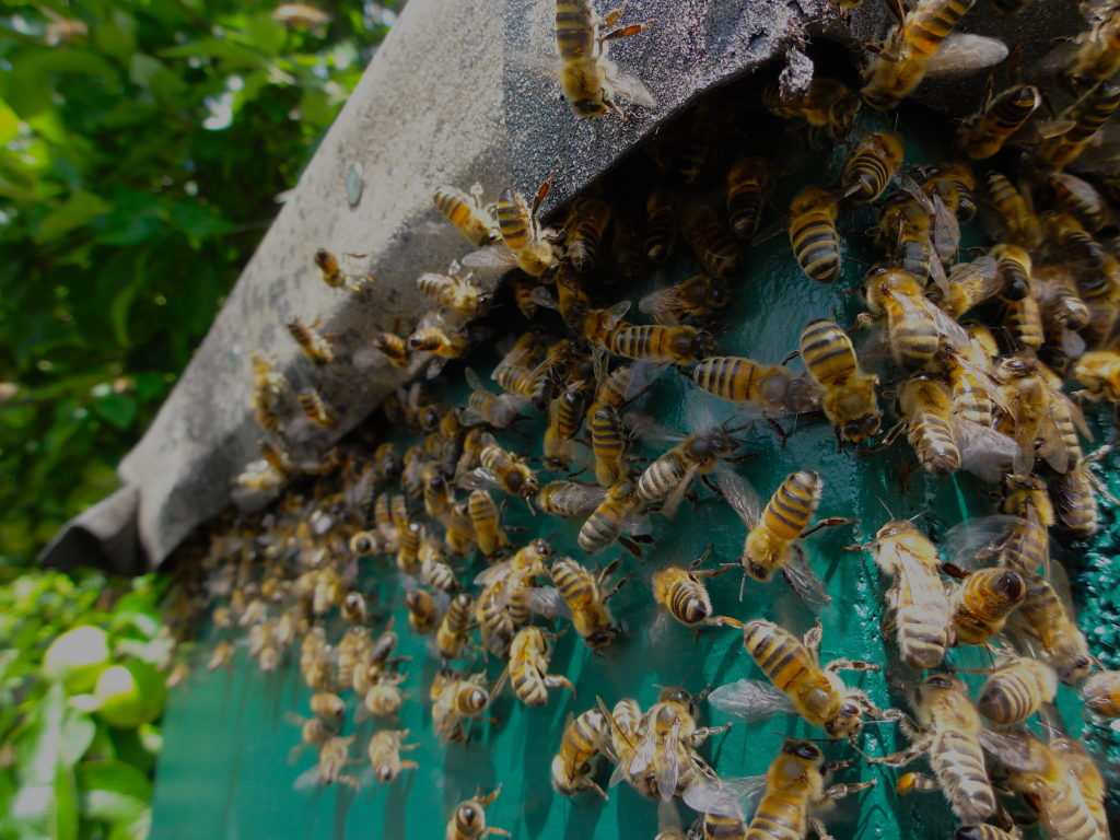 Honeybees with bottoms in the air - letting their nasanov glands lure their returning friends to their new hive. #BeehiveYourself, #WantageHoney, #NasanovGlands, Beehive Yourself, Wantage Honey,