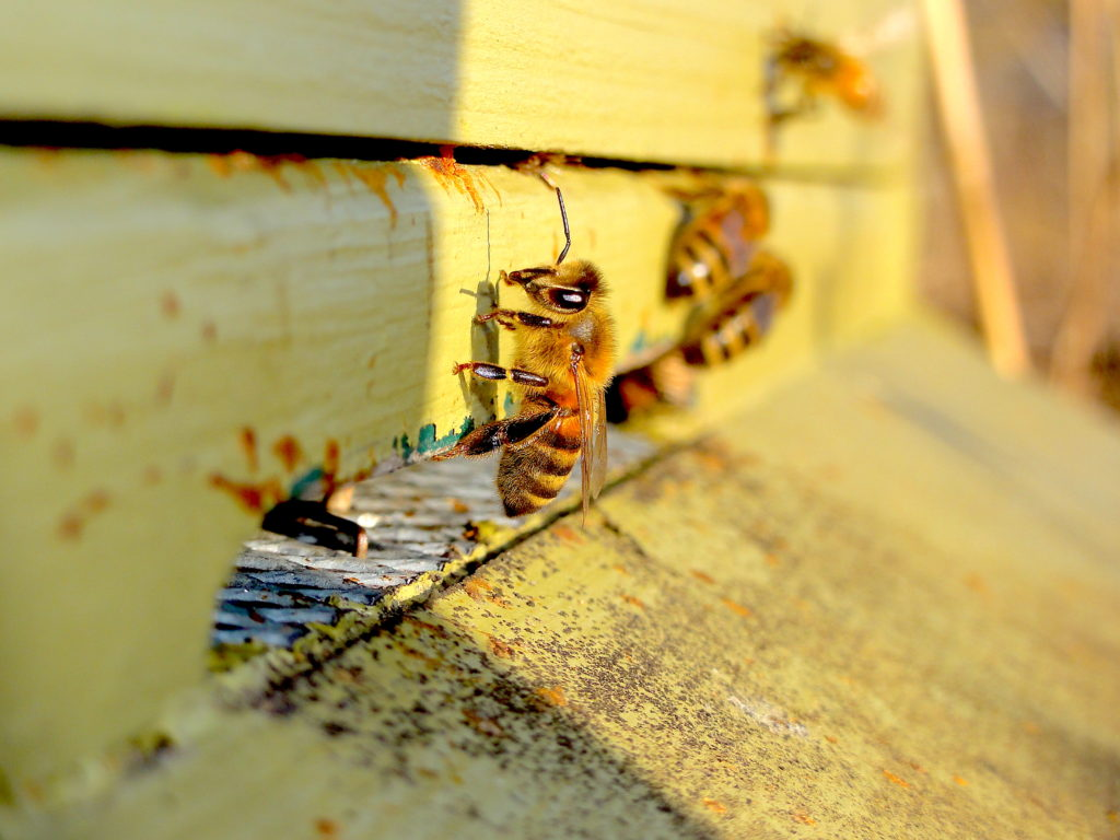 Honeybees at the Entrance of their Hive. The hive is a national hive and is painted green. #BeehiveYourself, #WantageHoney, #HoneybeesAtHiveEntrace, Beehive Yourself, Wantage Honey,