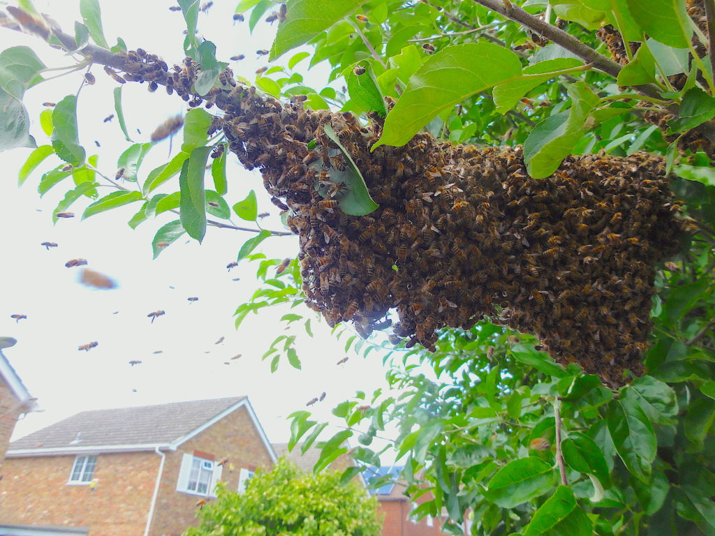 A Swarm of Honeybees on a Tree Branch, Haywards Close, Wantage. #BeehiveYourself, #WantageHoney, #SwarmOfHoneybees, Beehive Yourself, Wantage Honey, Swarm on Branch.