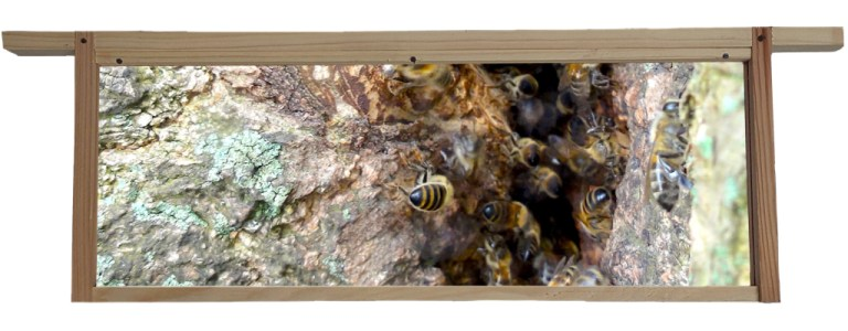 Bees living inside a Tree Cavity