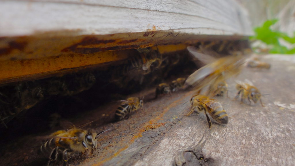 Entrance to the hive with honeybees loitering and flying. The hive is unpainted and so you see the grain of the wood. This quite a dark photo. #BeehiveYourself, #WantageHoney, #EntranceToHive, Beehive Yourself, Wantage Honey,