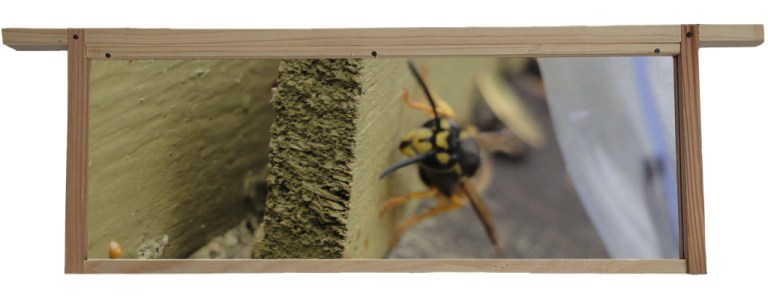 Wasp At Entrance To Hive Set in Hive Frame