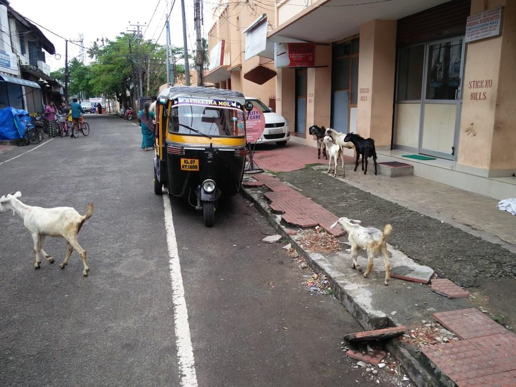 stray goats kerala