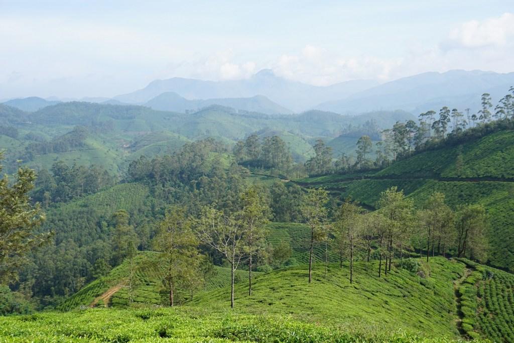 tea plantations kerala
