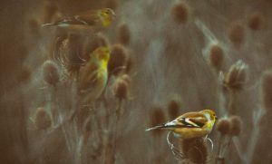 A Trio of Goldfinches