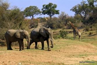 two elephants and three giraffes