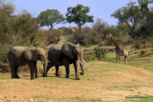 two elephants and three giraffes