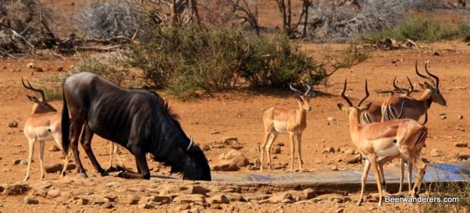 wildebeest impalas waterhole
