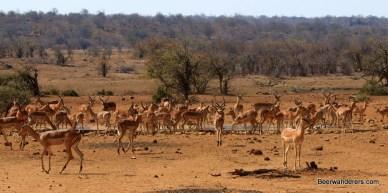 impalas at waterhole in kruger