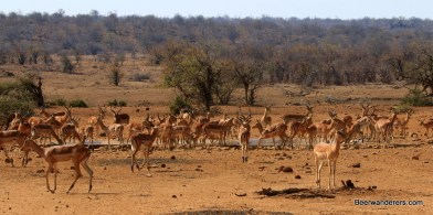 impalas at waterhole in kruger