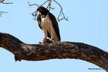 martial eagle looking on