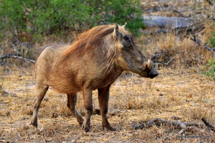 profile of warthog