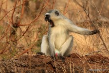 white monkey with big teeth