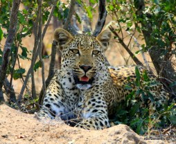 leopard looks at me