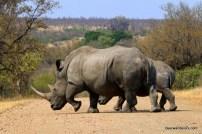 white rhinos crossing road