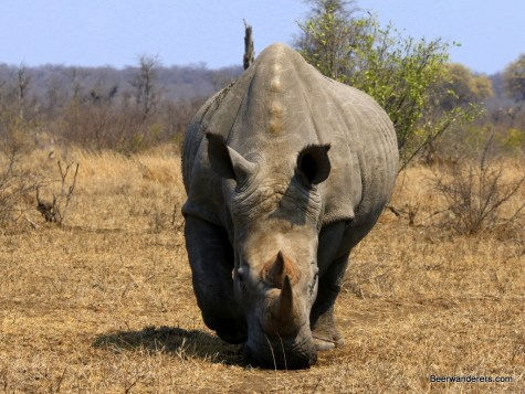 kruger white rhino charges