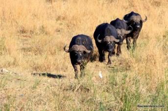 four water buffaloes