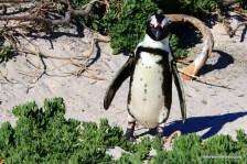 penguin on dune