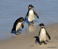 three penguins on beach