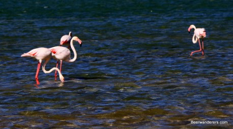 flamingos in water