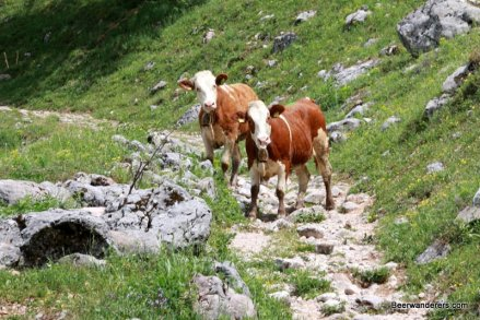 cows on trails