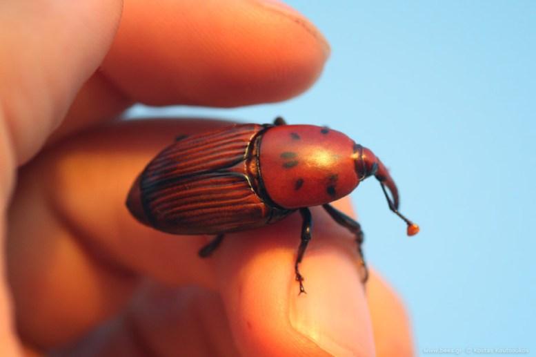 το κόκκινο σκαθάρι του φοίνικα , Red Palm Weevil ή Asian palm weevil ή Rhynchophorus ferrugineus ή beetle of Palms ή κόκκινο ρυγχωτό σκαθάρι ήκόκκινος ρυγχωτός κάνθαρος.