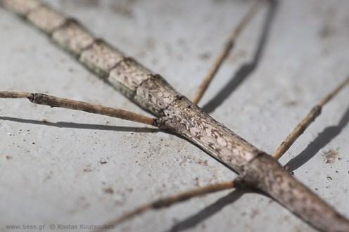 stickbug