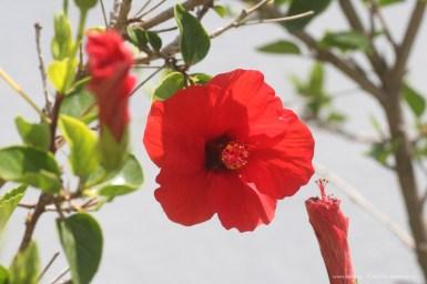 Κόκκινος Ιβίσκος