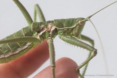 saga pedo predatory bush cricket γρύλος
