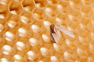 πεταλούδα κηρόσκωρου