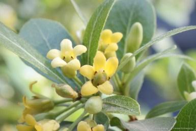Αγγελική ψιλόφυλλη - μικρόφυλλη Pittosporum heterophyllum
