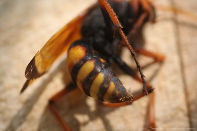 cryptocheilus altenatus κοιλιά και πόδια