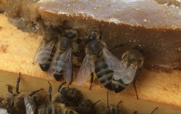 Bees eating Feed EZ pollen patty