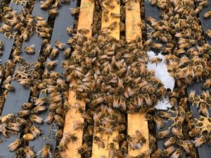 bees eating bee build pollen patty