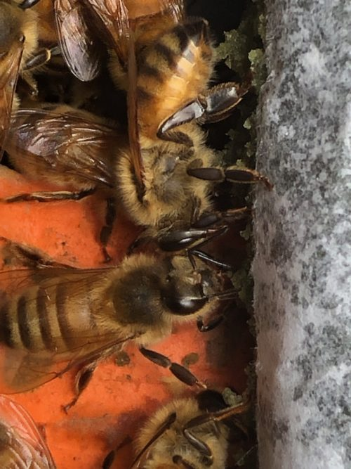 bees eating NurtiEZ pollen patty