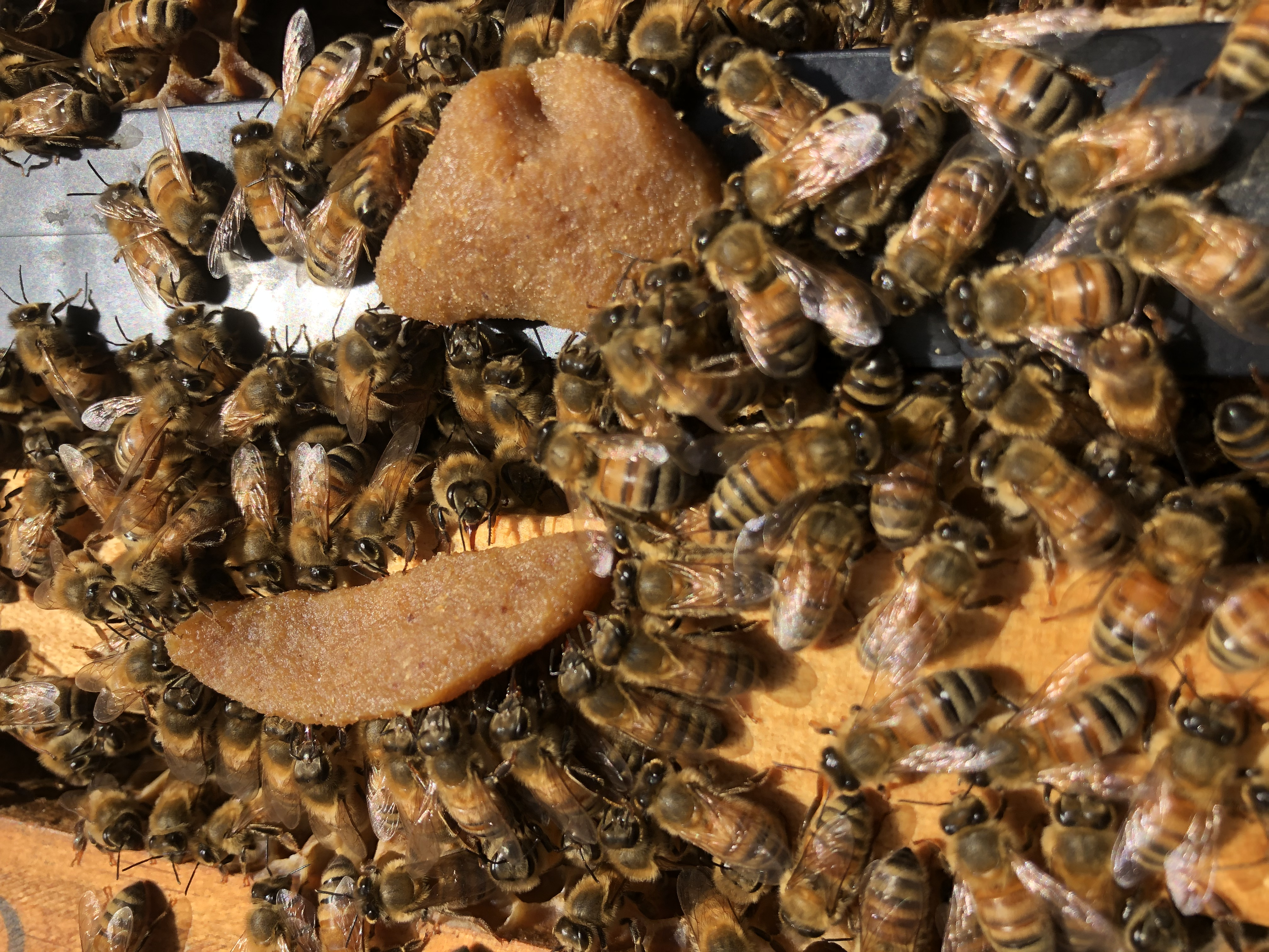Bees Eating Bee Builder Protein Patty