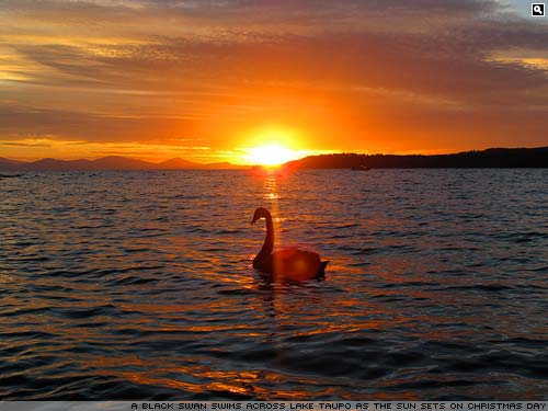 A black swan on Lake Tapau at sunset